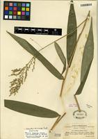 Isotype of Ichnanthus breviscrobs Döll [family POACEAE]