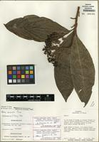 Holotype of Ardisia opegrapha subsp. wagneri (Mez) Pipoly & Ricketson [family PRIMULACEAE]