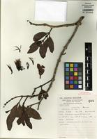 Isotype of Decaisnina congesta Barlow [family LORANTHACEAE]