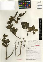 Isotype of Diplusodon bolivianus T.B. Cavalc. & S.A. Graham [family LYTHRACEAE]