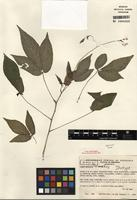 Isotype of Cleome torticarpa H.H. Iltis & T. Ruiz Zapata [family CLEOMACEAE]