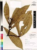 Isotype of Rinorea zanagensis Achoundong, G.&Bos [family VIOLACEAE]