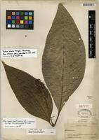 Holotype of Raritebe palicoureoides subsp. dwyerianum J.H. Kirkbr. [family RUBIACEAE]