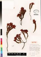 Isotype of Erica insolitanthera H.A. Baker [family ERICACEAE]