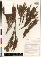Isotype of Philippia alticola E. G. H. Oliver [family ERICACEAE]