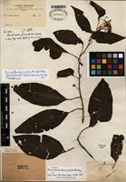 Isotype of Lycianthes fasciculata (Rusby) Bitter [family SOLANACEAE]