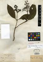 Holotype of Rudgea tomentosa Rusby [family RUBIACEAE]