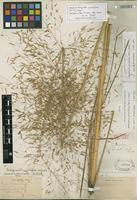 Isotype of Eragrostis trichodes (Nutt.) Alph. Wood [family POACEAE]