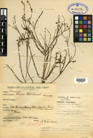 Isotype of Linum weberbaueri Krause [family LINACEAE]