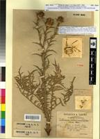 Holotype of X carthamus faurei Maire [family ASTERACEAE]