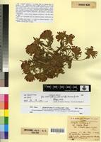 Holotype of Anthyllis vulneraria L. var. litoralis Maire & Weiller [family FABACEAE-PAPILIONOIDEAE]