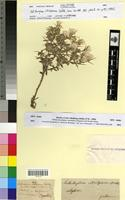 Holotype of Helichrysum citrispinum Del. [family ASTERACEAE]