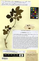 Isotype of Schmidelia puberula Cambess. [family SAPINDACEAE]
