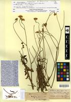 Isotype of Crepis fallax Boiss. [family ASTERACEAE]
