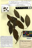 Syntype of Pimelodendron papuanum Warb. [family EUPHORBIACEAE]