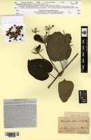 Type of Stigmaphyllon littorale A.Juss. [family MALPIGHIACEAE]