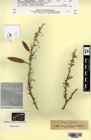 Isotype of Acacia pterygocarpa Benth. [family FABACEAE]