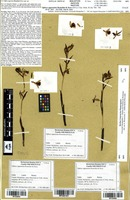 Isotype of Ophrys appennina Romolini & Soca [family ORCHIDACEAE]