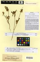 Isosyntype of daucus abyssinicus A.Rich. [family APIACEAE]
