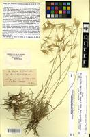 Isotype of Bromus cappadocicus Boiss. & Balansa [family POACEAE]