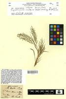 Isotype of Eragrostis frankii C.A.Mey ex Steud. [family POACEAE]