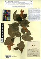 Isosyntype of Dipteracanthus subringens Nees [family ACANTHACEAE]