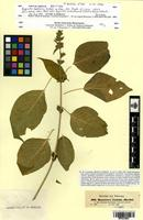 Isotype of Hypoestes latifolia Nees [family ACANTHACEAE]