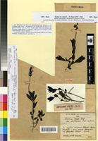 Holotype of Veronica rosea Desf. var. glabrescens Emb. & Maire [family SCROPHULARIACEAE]