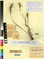 Type of Bromus lanceolatus Roth f. violaceus Maire & Weiller [family POACEAE]