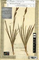 Isotype of Carex borbonica Lam. [family CYPERACEAE]