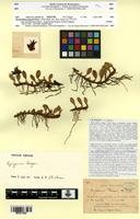Isotype of Dendrobium fargesii Finet [family ORCHIDACEAE]
