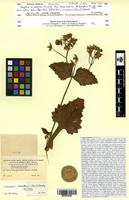 Isotype of Fagelia nevadensis Pennell [family SCROPHULARIACEAE]