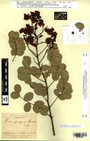 Isotype of Cassia pachypoda Glaz. [family FABACEAE]
