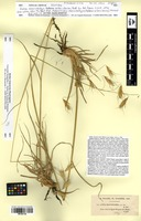 Isotype of Avena macrostachya Coss. & Durieu [family POACEAE]