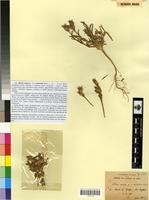 Syntype of Silene conica L. var. australis Maire [family CARYOPHYLLACEAE]