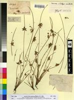Type of Isolepis uninodis Delile [family CYPERACEAE]