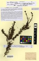 Isotype of myrcia linearifolia Cambess. [family MYRTACEAE]