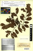 Isotype of Grewia trichocarpa A.Rich. [family TILIACEAE]