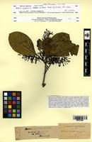Isotype of Helicia zeylanica Meisn. [family PROTEACEAE]