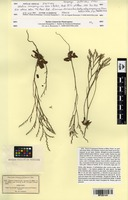 Isotype of Statice companyonis Gren. & Billot [family PLUMBAGINACEAE]