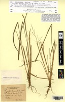 Isotype of Caryochloa bahiensis Steud. [family POACEAE]