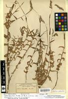 Isolectotype of Melinis tomentosa Rendle [family POACEAE]