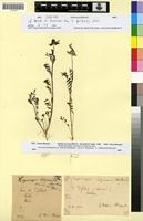 Syntype of Hippocrepis maura Braun-Blanq. & Maire [family FABACEAE-PAPILIONOIDEAE]