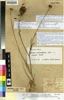 Holotype of Centaurea granatensis Boiss. var. citrina Maire [family ASTERACEAE]