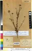 Holotype of Ormenis eriolepis (Coss. ined.) Maire [family ASTERACEAE]