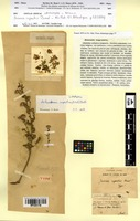 Lectotype of Chiliadenus rupestris (Pomel) Brullo [family ASTERACEAE]