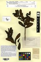 Isotype of Laplacea symplocoides Triana & Planch. [family THEACEAE]