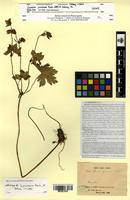 Isolectotype of Geranium yunnanense Franch. [family GERANIACEAE]