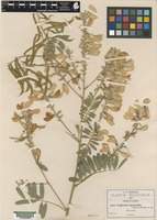 Isotype of Tephrosia macrantha A. Rob. & Greenm. ex Pringle [family FABACEAE]
