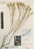 Isotype of Chrysothamnus parryi ssp. salmonensis L.C. Anders. [family ASTERACEAE]